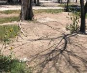 Acaban con eucaliptos como remedio al virus