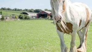 Un caballo que fue dado por muerto cuando aún respiraba