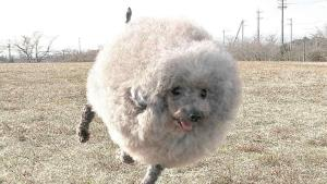 Un perro japonés se parece a una oveja gracias a su adorable pelaje esponjoso