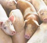 Impiden ingreso de productos porcinos