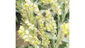 Plagas dañan más cultivos