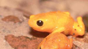 Una rana que no querrás tocarla