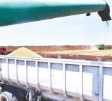 Reactivarán economía  las cosechas de sorgo