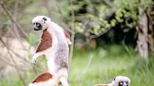 Lémures bailan en su llegada al zoológico del Reino Unido