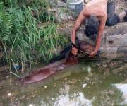 Piden a carretoneros cuidar a caballos; andan sueltos y caen a canales o los atropellan