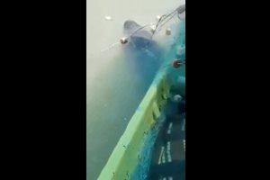 Pescadores del poblado La Pesca lograron rescatar a una vaquita marina
