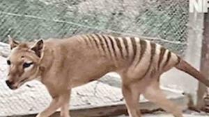 Restauran a color un video en blanco y negro del último tigre de Tasmania