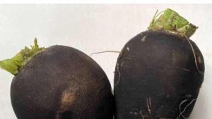 Desarrollan producto contra cálculos biliares a base de rábano negro