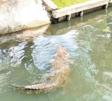Buscarán sitios para concentrar cocodrilos